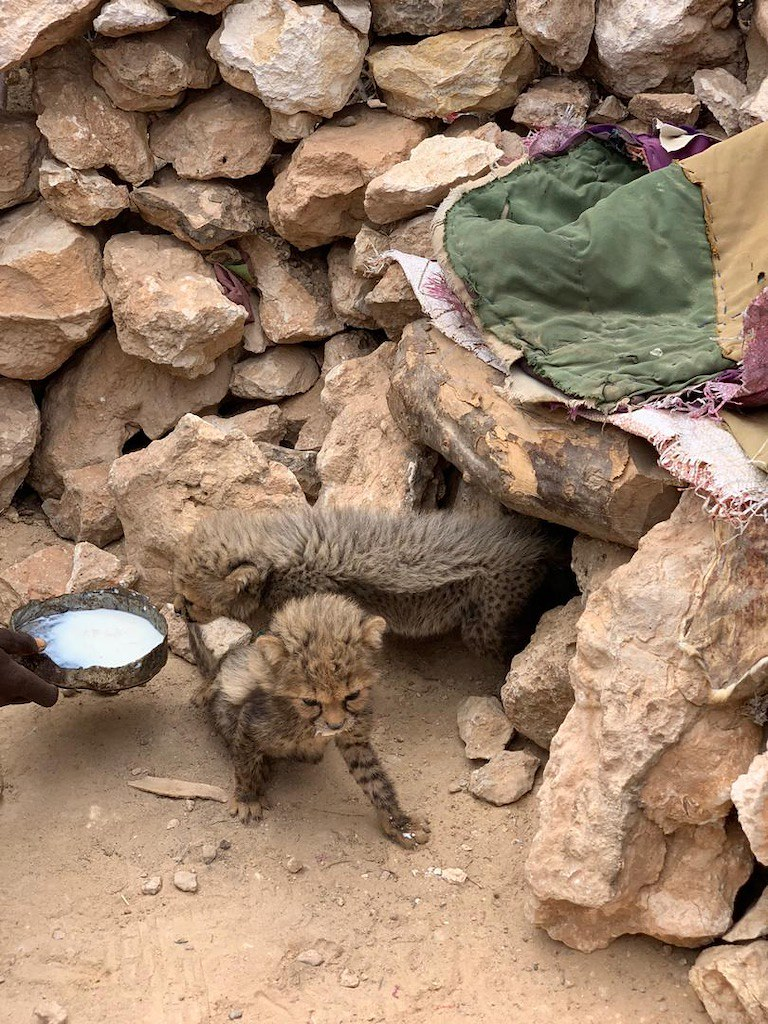 4 當地人提供一些羊奶給這兩隻幼豹。圖片來源:獵豹保育基金會阿斯瑪·比萊。