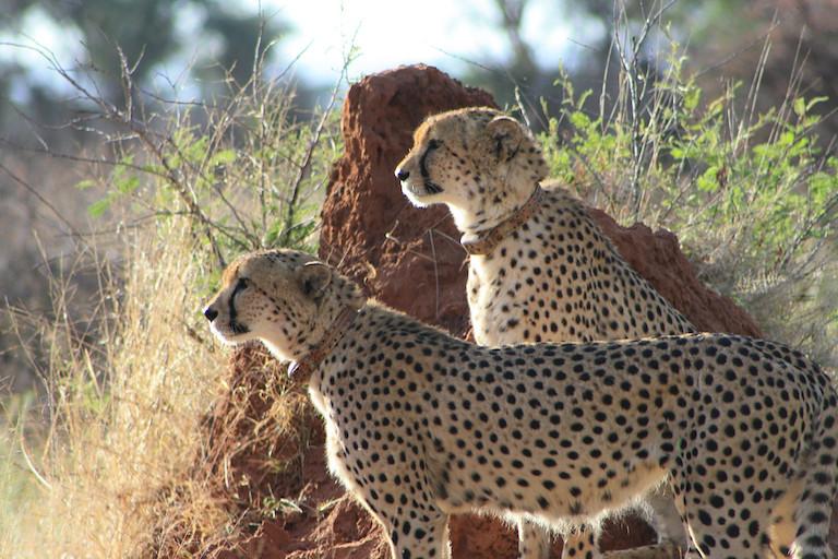 10 兩隻配有無線電發報器項圈的獵豹。影像來源:獵豹保育基金會。