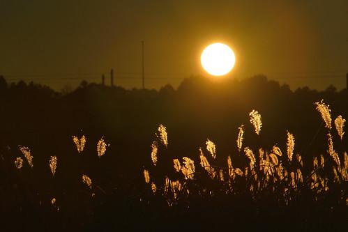 ススキ silvergrass maidensilvergrass landscape landscapephotography landscapes tamron28300 d800 nikond800 sunrise nature autumncolors autumn owesome