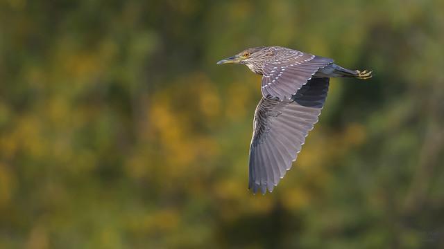 Black-crowned Night Heron   4345