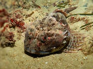 Short-spined Bullhead, Myoxocephalus scorpius, or reticulated Dragonet Fish, North Atlantic