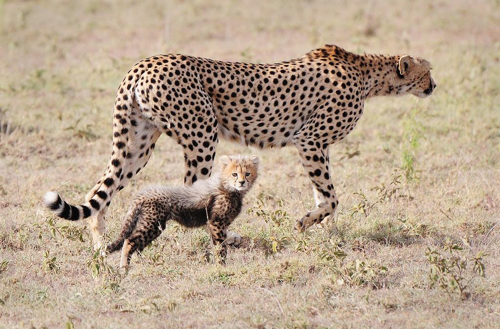 2 獵豹母子。圖片來源:Flickr。