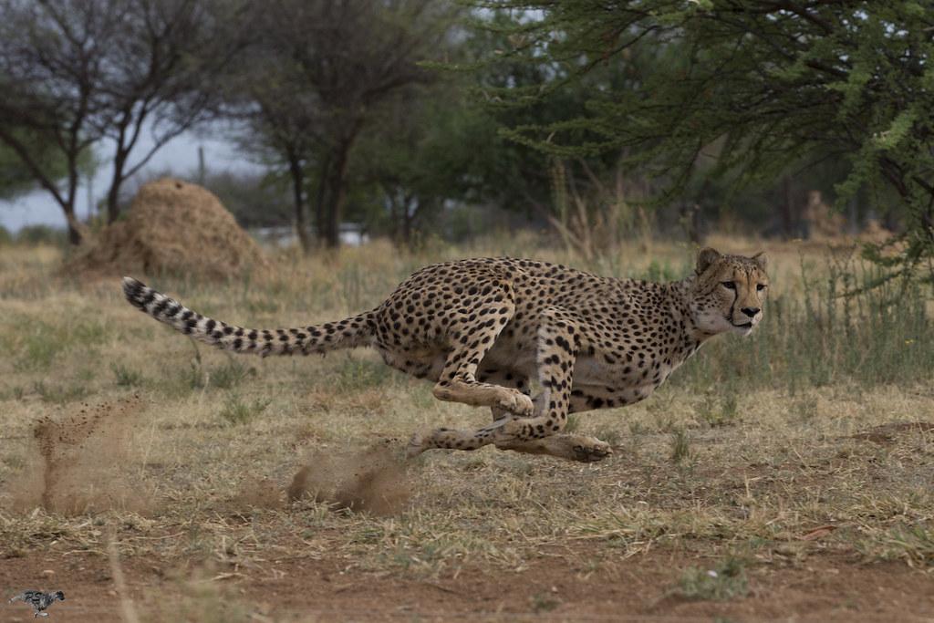 8 奔跑中的獵豹。影像來源:獵豹保育基金會。