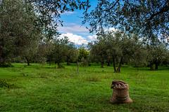 Raccolta delle olive in Sicilia