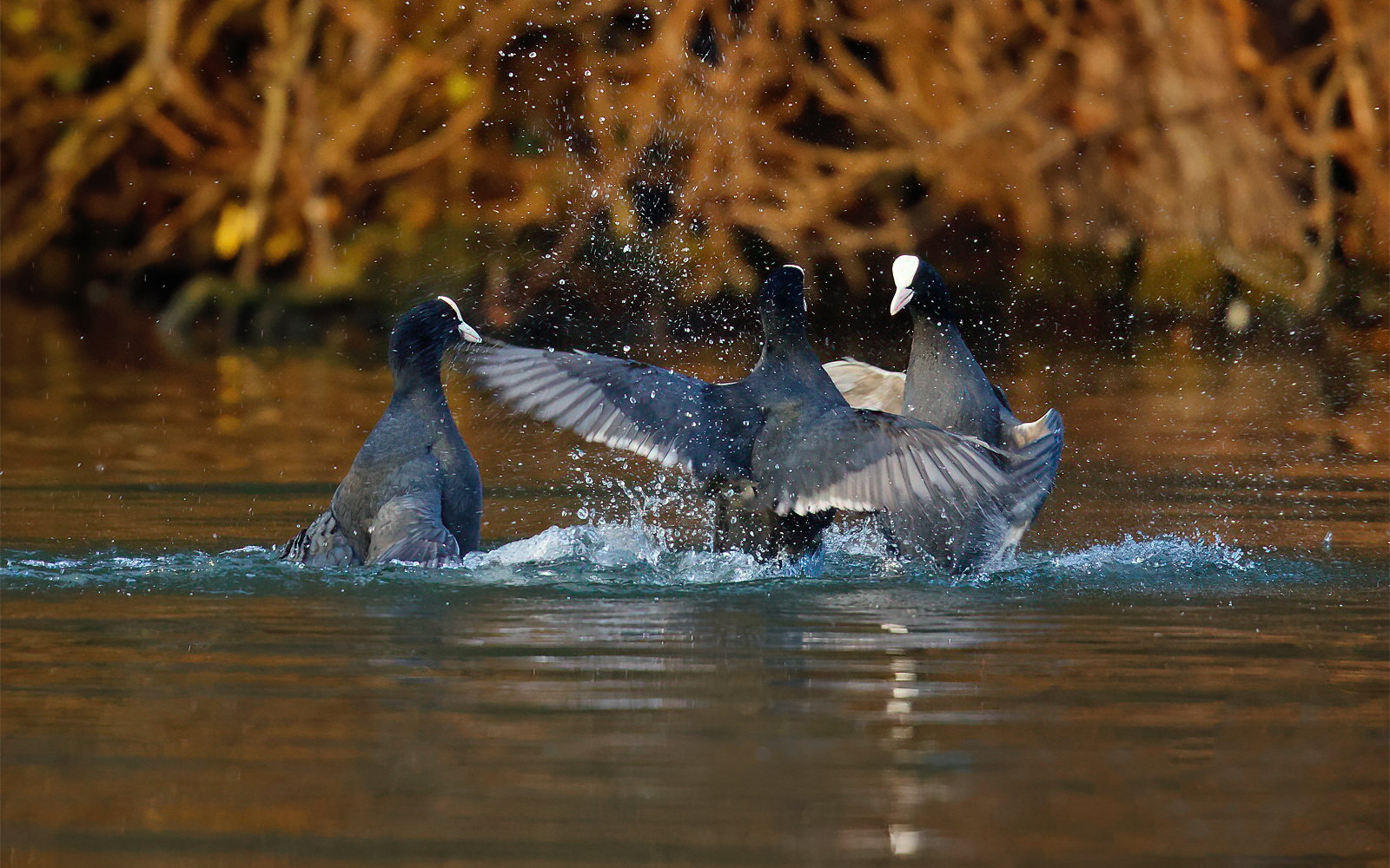Coot fight