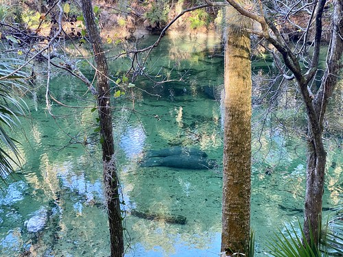 Manatee Couple at Blue Spring State Park | by itsmarykate