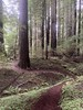 Winding trail through Humboldt Redwoods SP