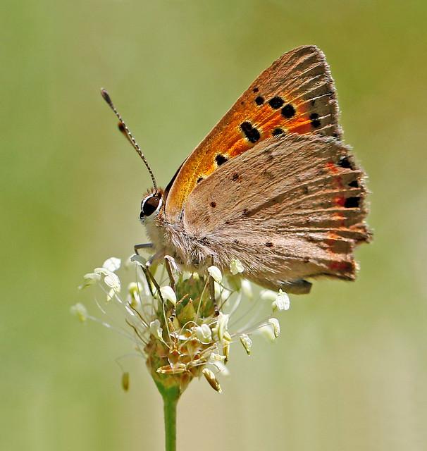 Violet Copper - Lycaena helle