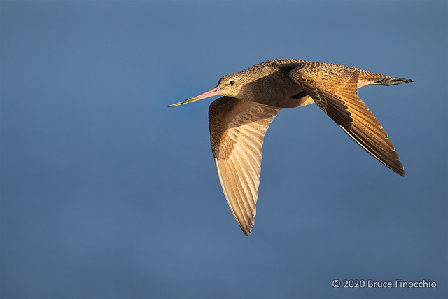 With Wings Down, A Flying Marbled Godwit
