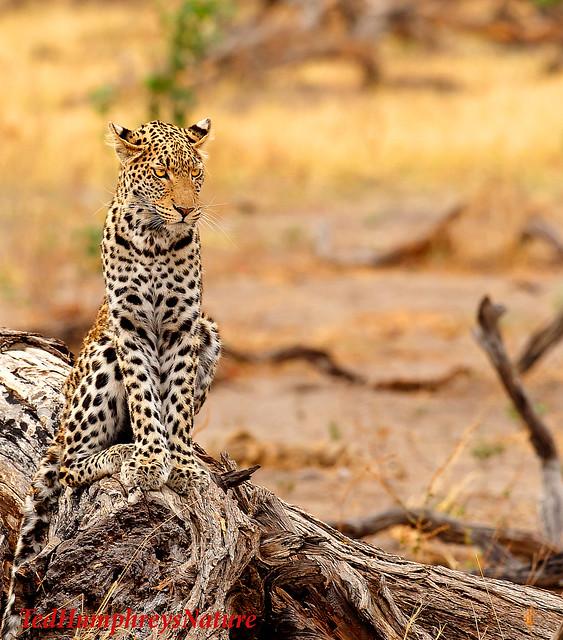 Leopard chilling