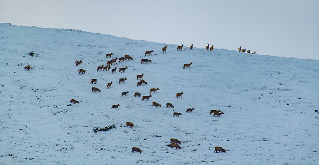 Herd of Hinds and a Few Young Stags up Glenshee-Scotland.