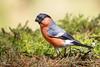 Northern Bullfinch,Gimpel,Bouvreuil pivoine,Goudvink