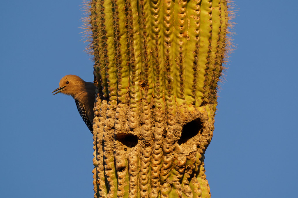 A female Gila woodpecker peaks out from the side of a saguaro with two holes visible out front in George Doc Cavalliere Park in Scottsdale, Arizona on December 25, 2020. Original: _RAC2142.arw