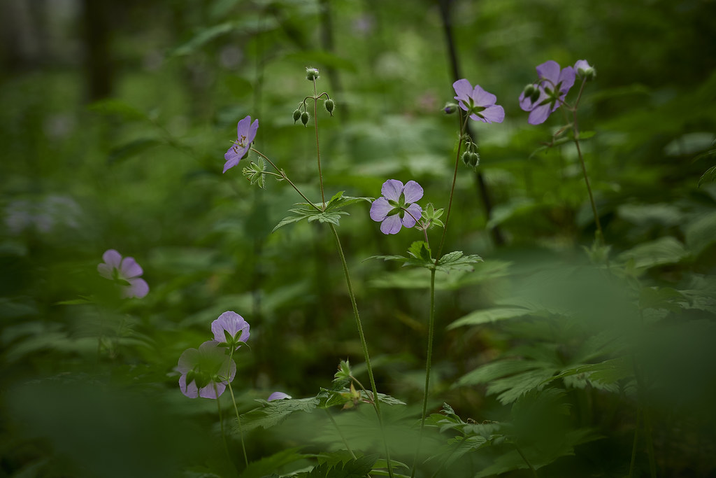 flowers for you, flowers for us, wild geraniums, 5-20 36