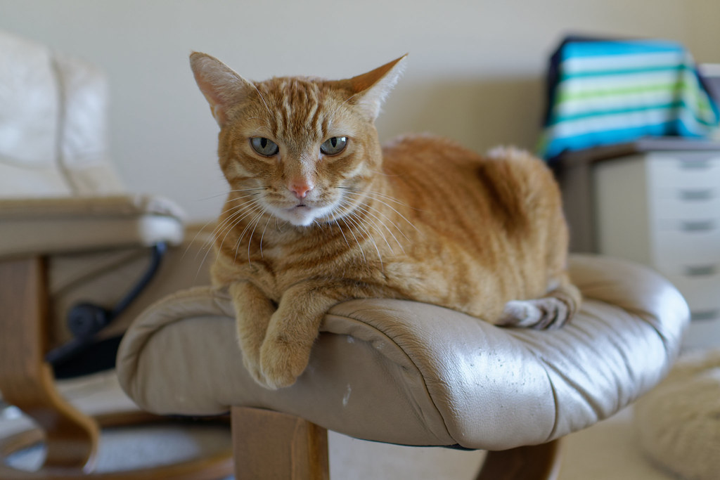 Our cat Sam appears to be frowning at me as he sits on a footstool on December 22, 2020. Original: _RAC1495.arw