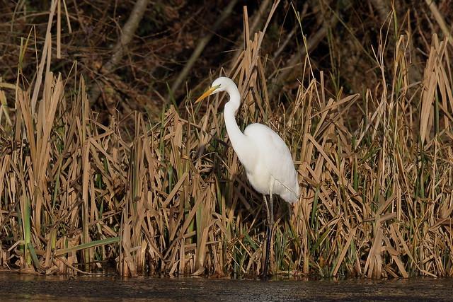 Great or Great White Egret (Ardea alba)