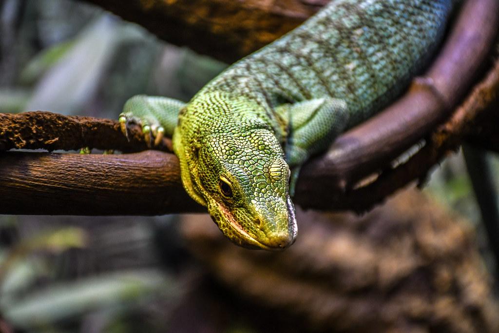 Lizard AK