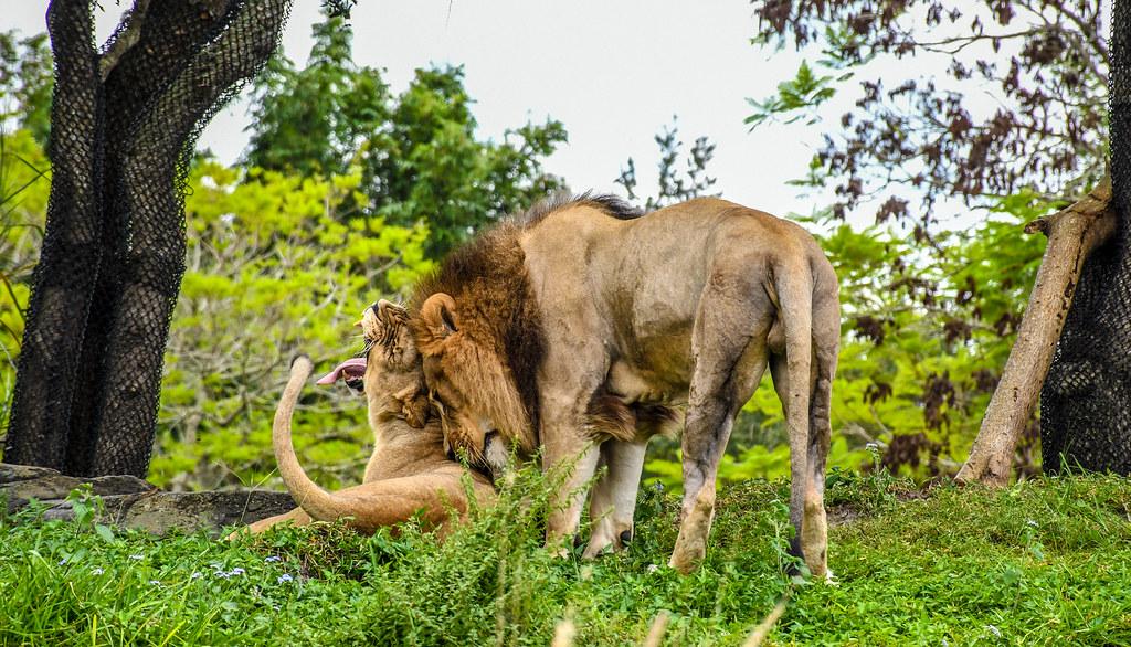 Lions yawn Safari AK
