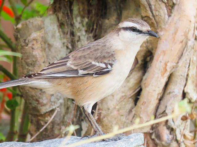 Sabiá-do-campo/Chalk-browed Mockingbird
