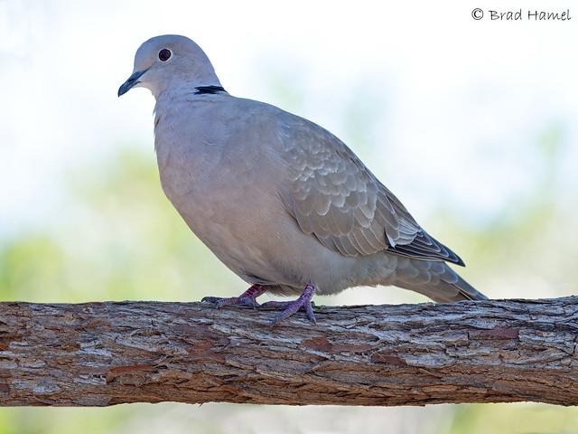 A Eurasian Collared Dove.