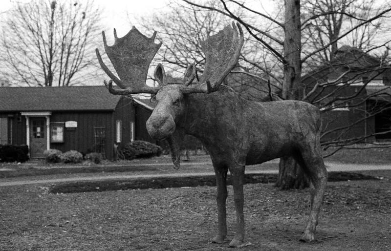 Concrete Moose Waiting to Rut