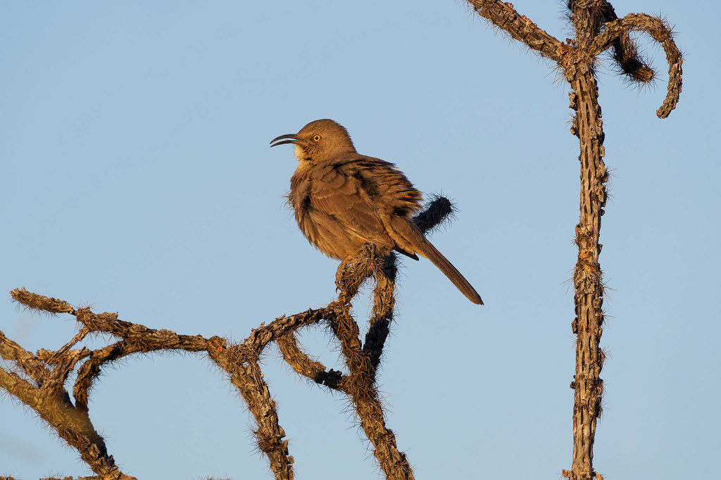 A curve-billed thrasher sings from a dead buckhorn cholla at George Doc Cavalliere Park in Scottsdale, Arizona on December 21, 2020. Original: _RAC1089.arw