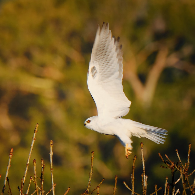 Takeoff: White-tailed Kite