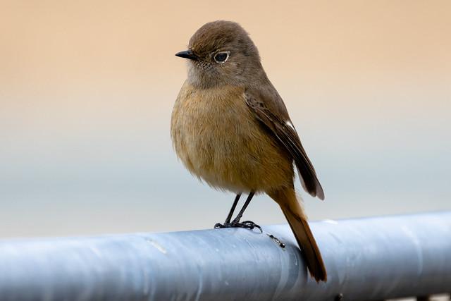 ジョウビタキ(メス)/ Daurian Redstart (female)