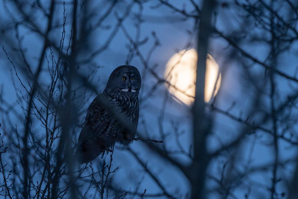 Great Grey Owl in moonlight