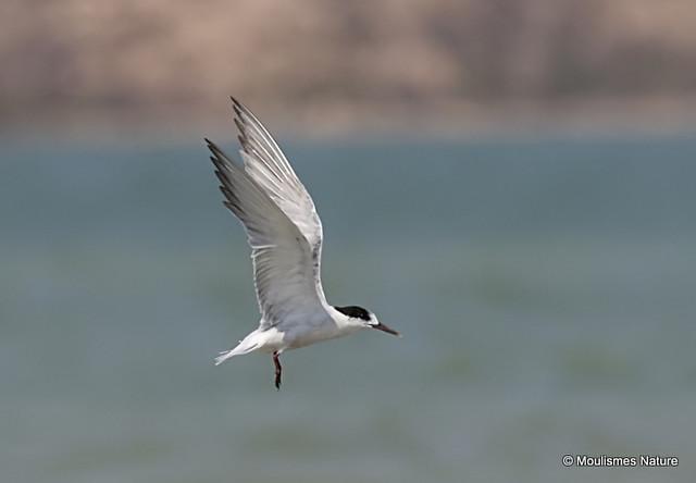 0S8A3739. Common Tern (Sterna hirundo) 1S
