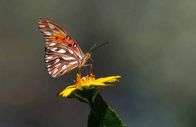 Mariposa espejitos