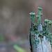 Trumpet lichen
