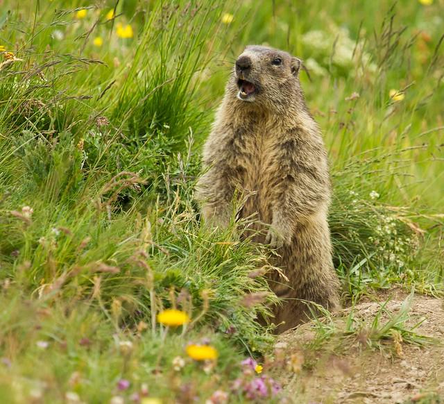 Marmot. Marmotta. (Marmota Marmota).