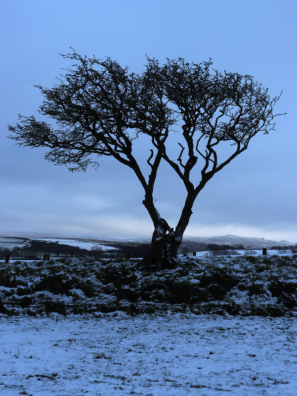 Tree on a bank, East Hill
