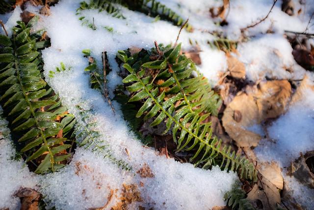Icy Ferns