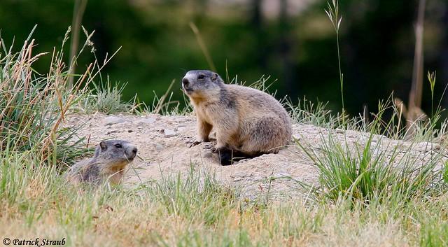 Marmotte des Alpes (fr) - Marmota marmota 5linnaeus, 1758) - Alpenmurmeltier (de) - Alpine marmot (en)