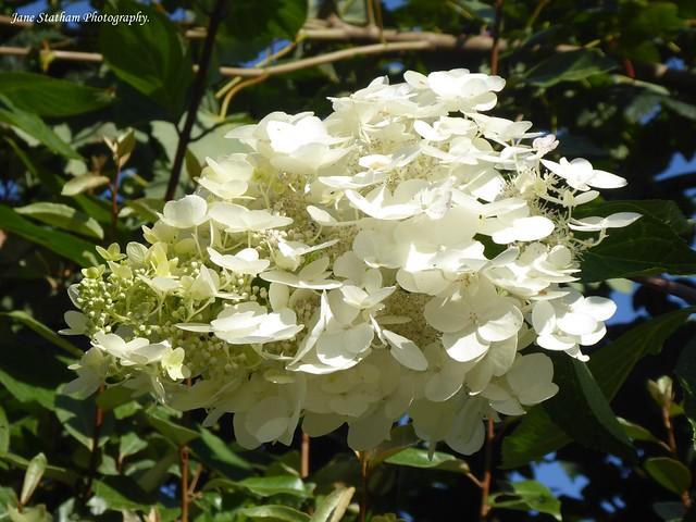 Oak-leaved hydrangea ~ Hydrangea quercifolia.
