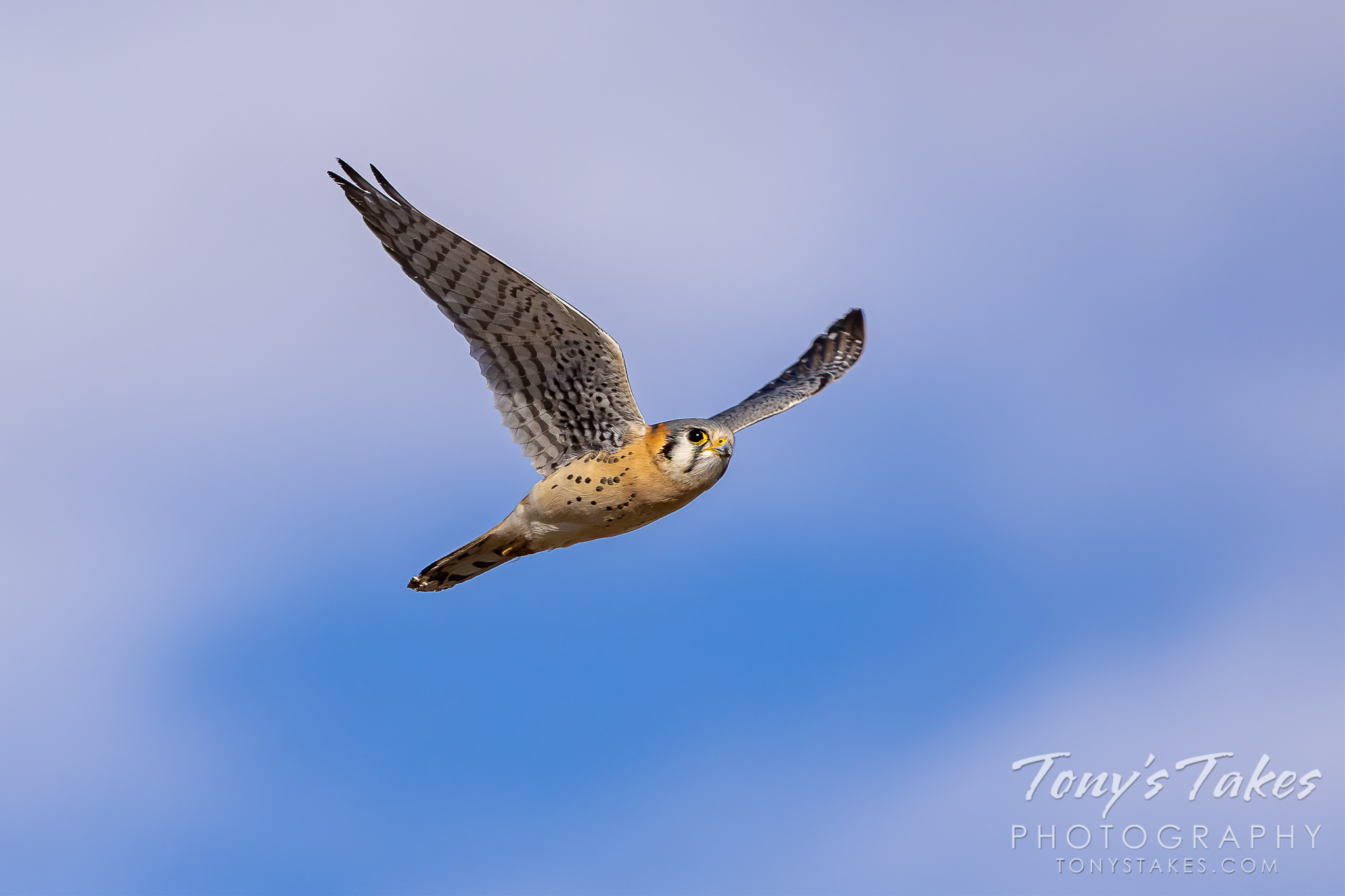 American kestrel saves the photo day
