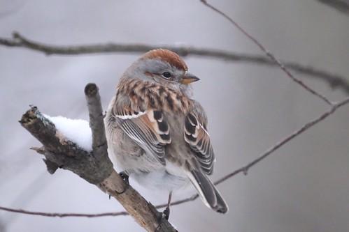 spizellaarborea americantreesparrow spizelloidesarborea