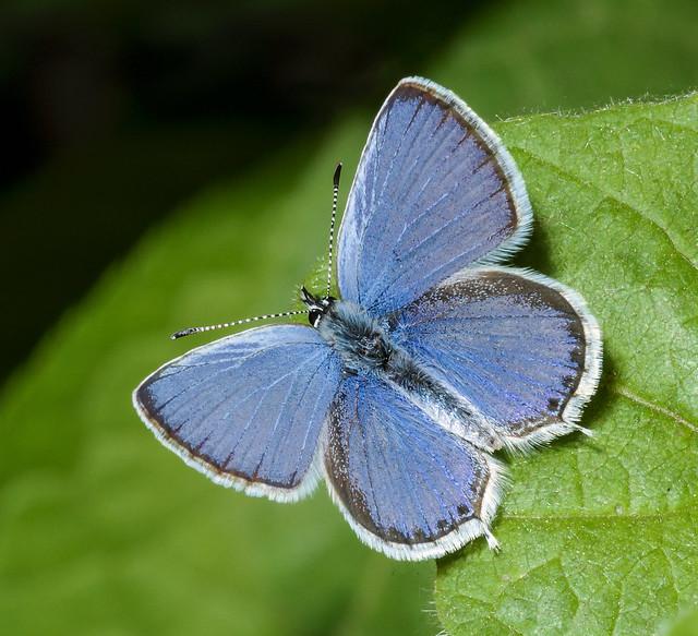 Western Tailed Blue - Cupido amyntula (Lycaenidae, Poliommatinae, Poliommatini) 109m-1034