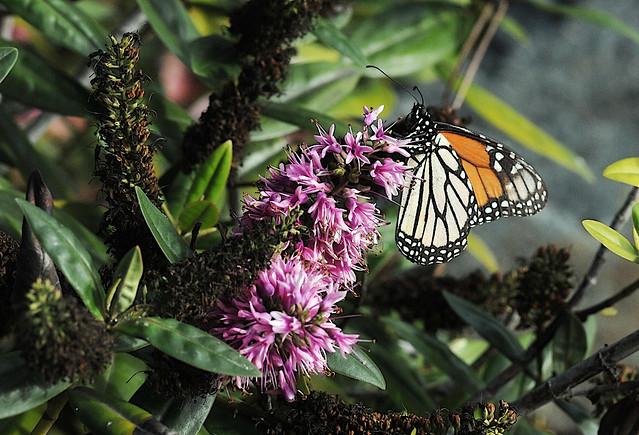 Monarch on Paula hebe