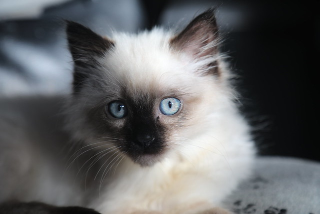 Double Stuffed Oreo Kitten