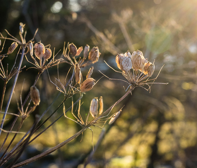 Cow Parsley Seeds