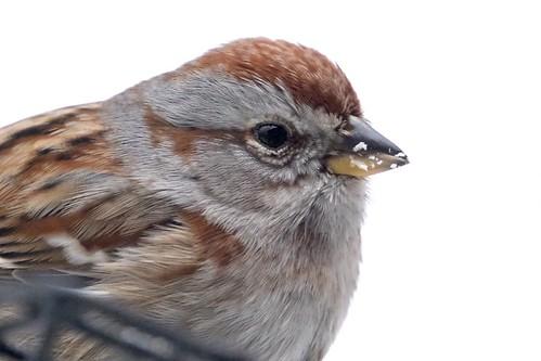 americantreesparrow spizellaarborea