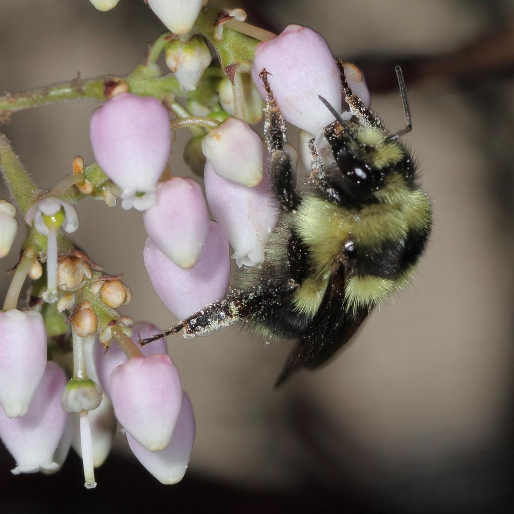 Bombus melanopygus female