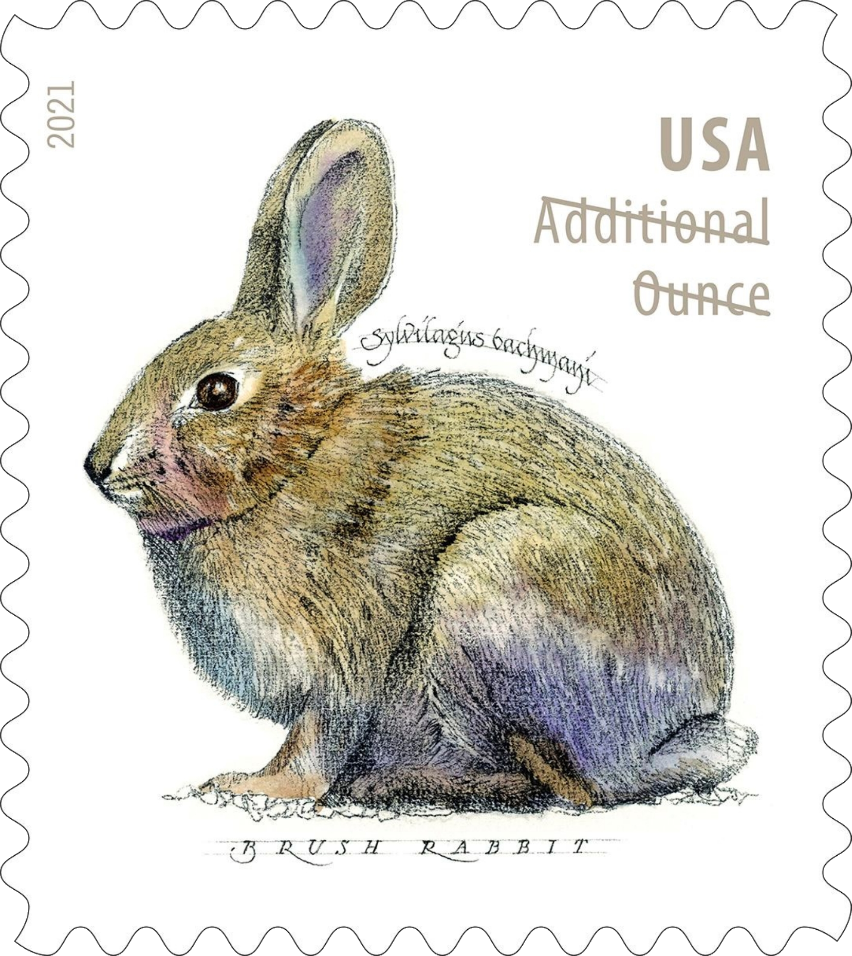 United States: Brush Rabbit, 24 January 2021
