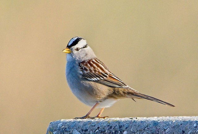 White-crowned Sparrow on a Slab