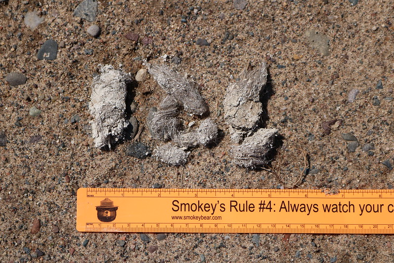 Dried, light-gray scat in 3 pieces, with an orange ruler showing the pile is 5 inches wide.