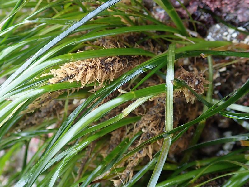 Amphisbetia furcata, surfgrass hydroid