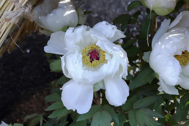 Paeonia suffruticosa 'Mikunino hata'  冬牡丹 '御国の旗'